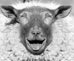 Photograph of a laughing sheep